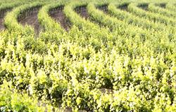 Nobles wines wijngaard 250x160