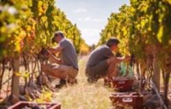 Payada wijngaard plukkers 250x160